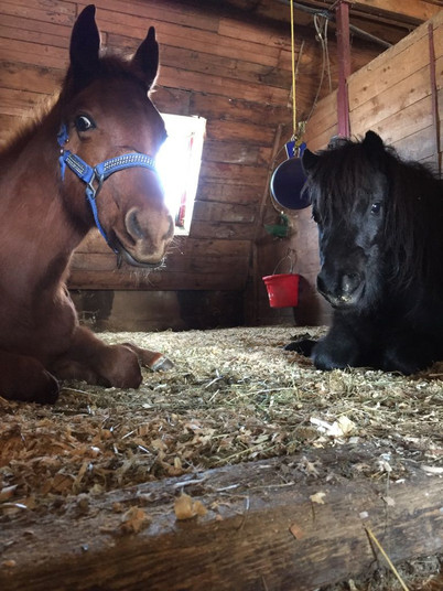 Spinner et le poney couché au box