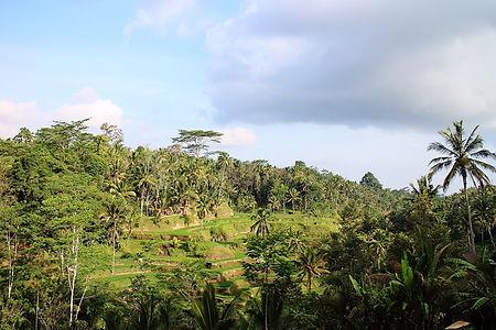 Risfälten i Tegallallang