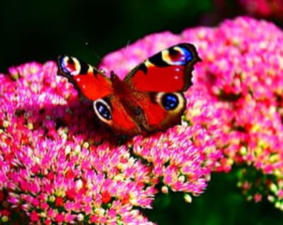 butterfly-peacock-butterfly-garden-flowe