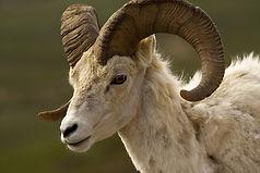 bighorn-sheep-3711994_1920.jpg