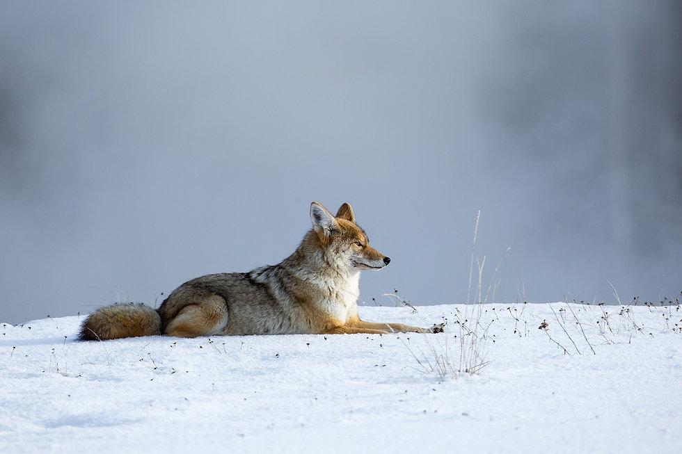 לזאב הערבות פרווה עבה וקצרה מתחת לשכבה של פרווה מגוננת