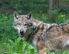 wolf-3585218_1920_edited.jpg