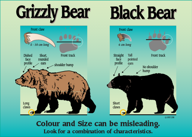 דוב גריזלי לעומת דוב שחור.png