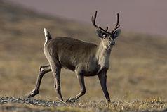 caribou-861969_1920.jpg