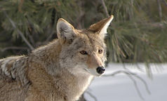 coyote-1901990_edited.jpg