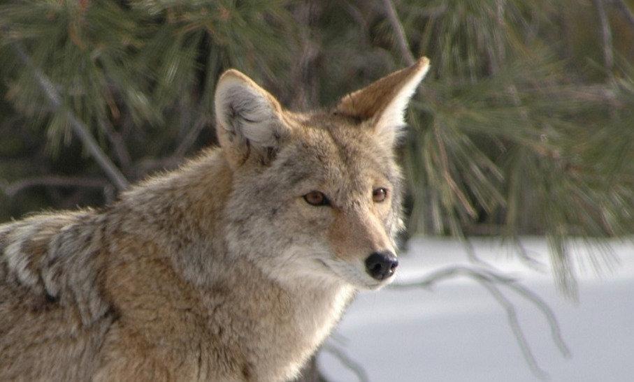 זאב ערבות בחורף