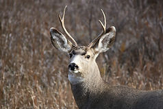 mule-deer-1804262_1920.jpg
