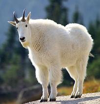mountain-goat-3917628_1920_edited.jpg