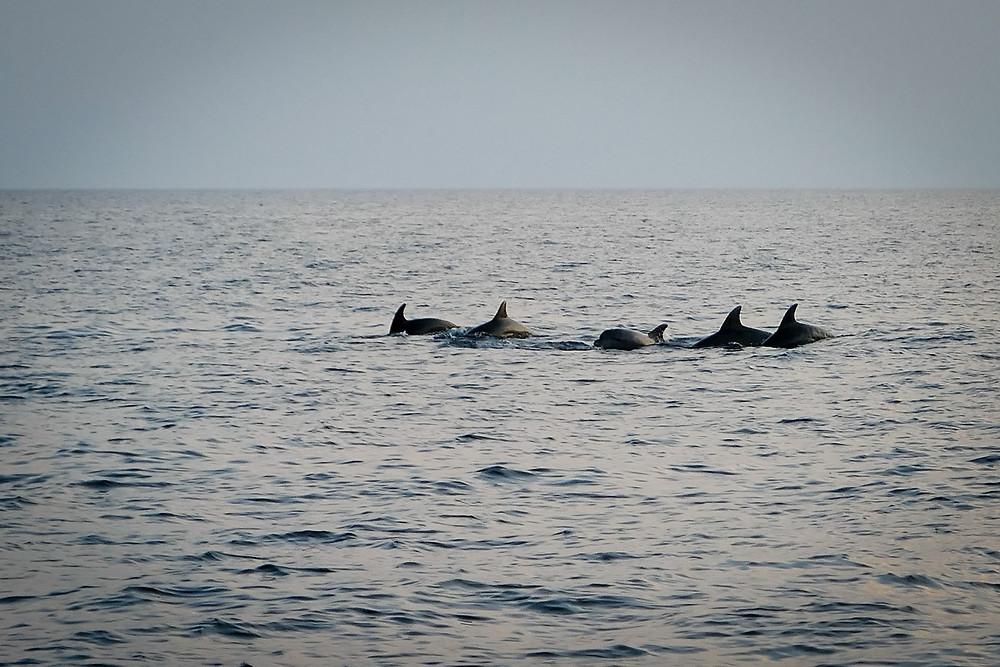 dolphins, croatia, sailing trip