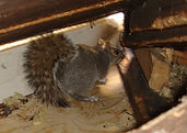 squirrel in the loft.jpg