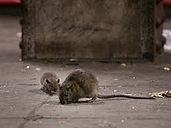 brown rat.jpeg