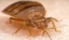 bedbugs1.jpeg