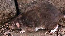 Rats.jpeg