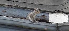 Squirrel entering loft.jpeg