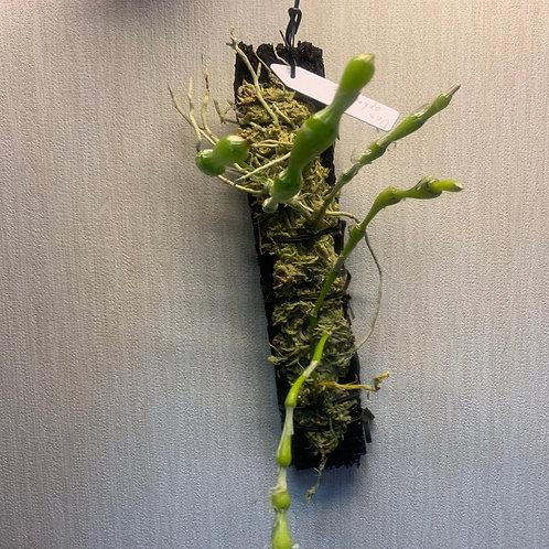 Dendrobium aphrodite 活着済み