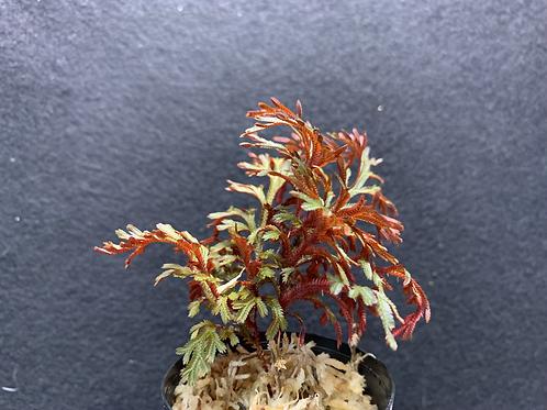 Selaginella erythrops
