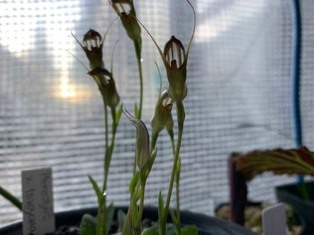 Pterostylis × toveyanum