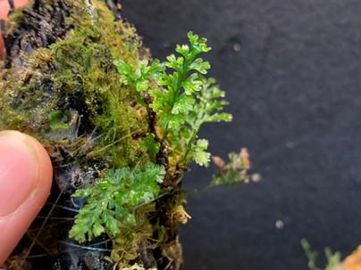 コハイホラゴケ類似種 Vandenboschia aff. ×stenosiphon