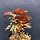 Thumbnail: Selaginella erythrops