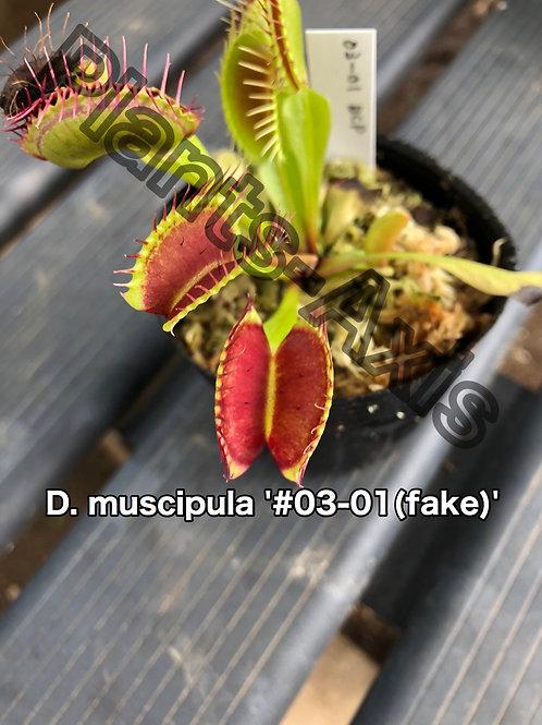 Dionaea muscipula 03-01(fake)