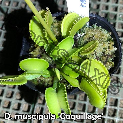 Dionaea muscipula Coquillage
