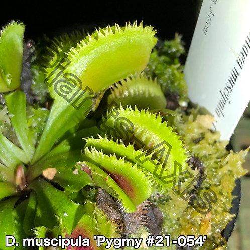 Dionaea muscipula #21-054 Pygmy