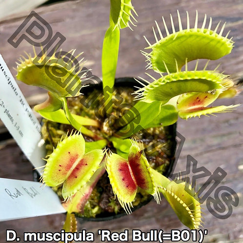 Dionaea muscipula RedBull