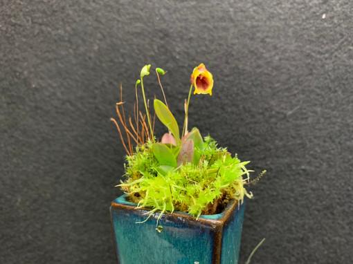 Masdevallia molossoides