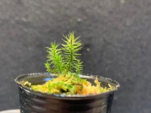 ヒノキゴケ Pyrrobryum dozyanum