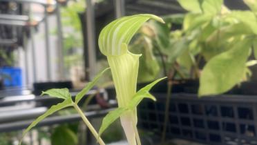 Arisaema amurense × A. sikokianum 'Koyuki' Selected indiv.
