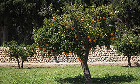 orange-tree-grove.jpg
