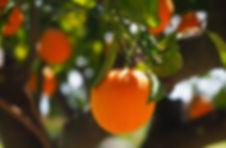orange-on-tree.jpg