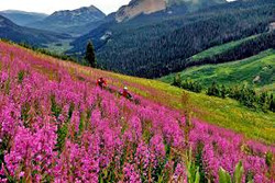 Crested Butte Colorado pink wild flowers