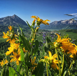 Crested Butte Colorado wild flowers