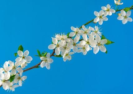 cherry-blossoms-6196363_640.jpg