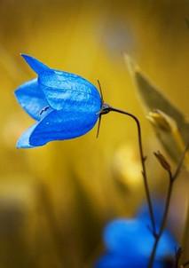 bellflower-1576086_640.jpg