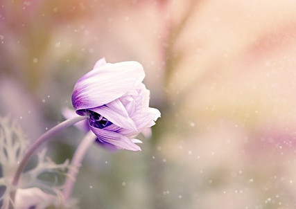 anemone-1533515_640.jpg