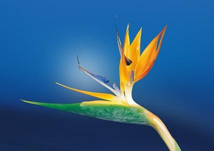 bird-of-paradise-flower-1073282_640.jpg