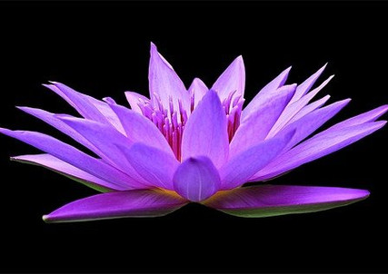 water-lily-1592771_640.jpg