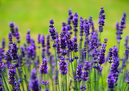 lavender-1117275_640.jpg