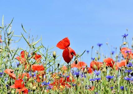 poppy-3441348_640.jpg