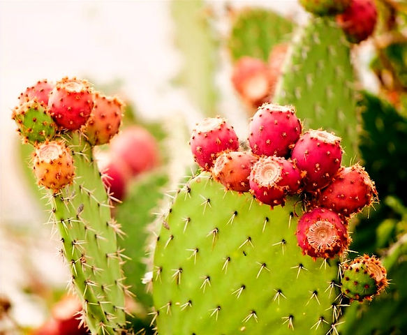 Prickly-Pear-Oil_edited.jpg