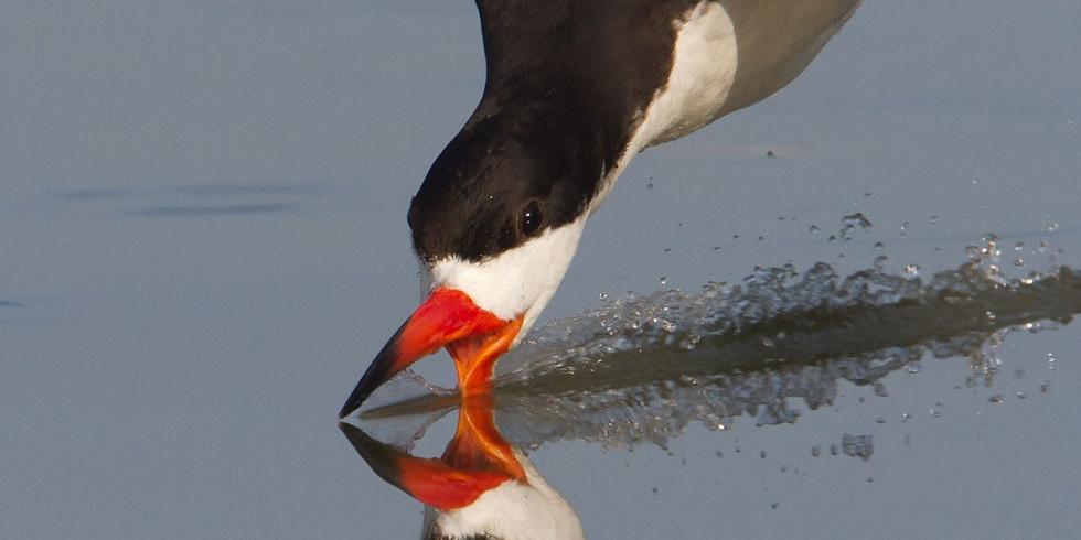 Shorebird & Seabird Report from Audubon Florida's Holley Short