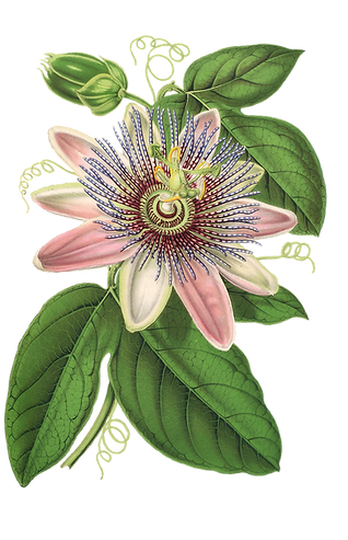 passion-flower-1944249_1920.png