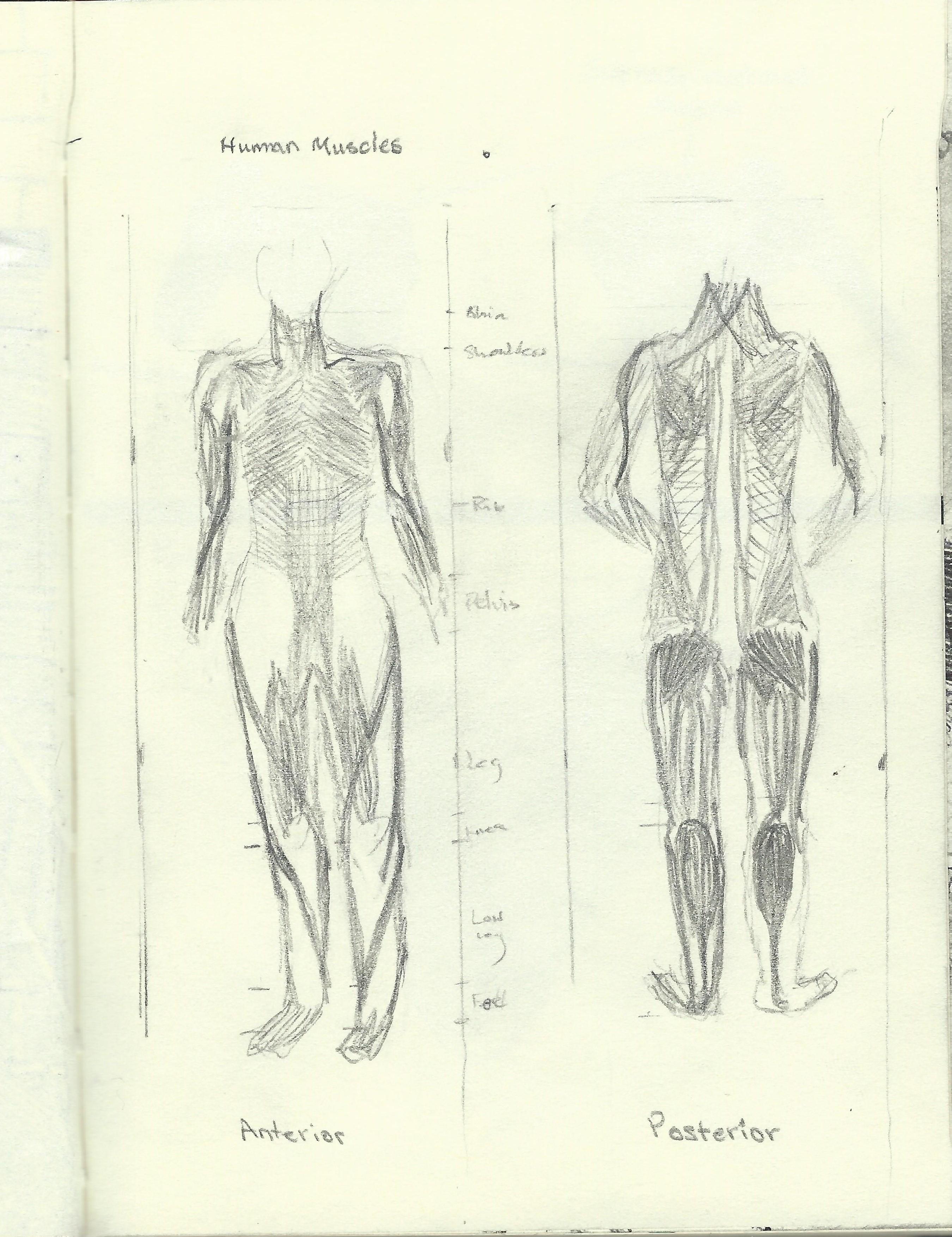 Posterior body