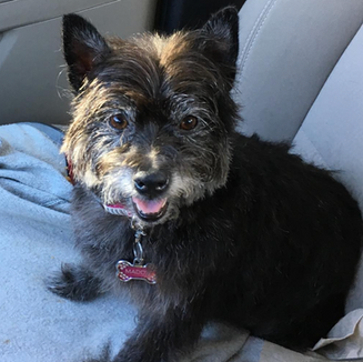My baby girl got a new 'do, so now she looks even more adorable. Oh, extra treats she wants? New collars? Go ahead, spoiled. - Maddy's Owner
