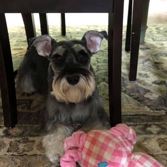 Very Satisfied with the grooming done by Brittney! And Million Dollar worth to see that Pippin is happy after being there! - Pippins Owner