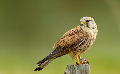 faucon nichant à poussou