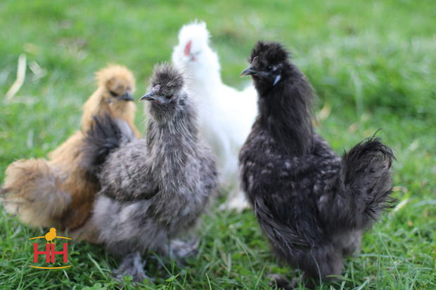 Mixed Silkie Bantams