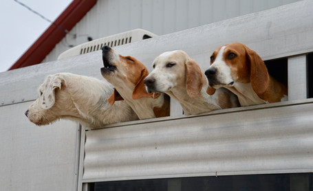 hounds on trailer.jpg